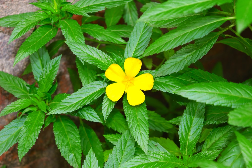 Damiana |  The Plant Guide