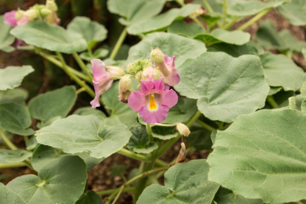 racine d harpagophytum
