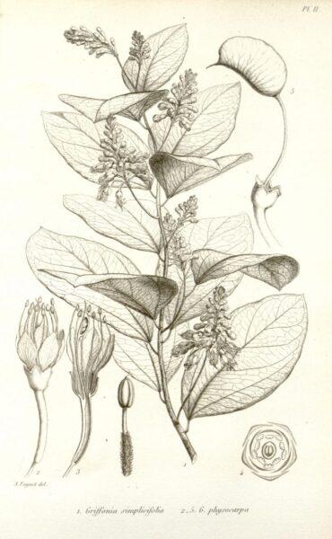 Bienfaits du Griffonia simplicifolia